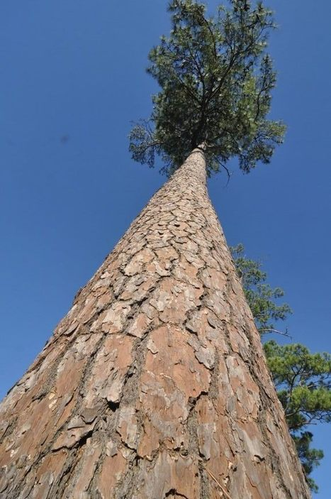 Assembling a Colossus: Loblolly pine genome is largest ever sequenced - 7 times bigger than the human genome   Amazing Science   Scoop.it