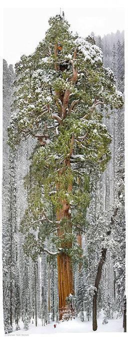 GoodNews ! Cet arbre vieux de 3200 ans est tellement grand qu'il n'avait jamais été pris en photo en entier jusqu'à présent | Merveilles - Marvels | Scoop.it