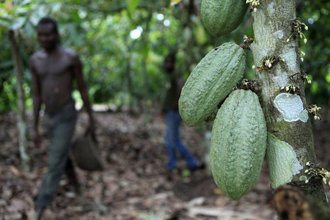 Why The World Might Be Running Out Of Cocoa Farmers | On the Plate | Scoop.it