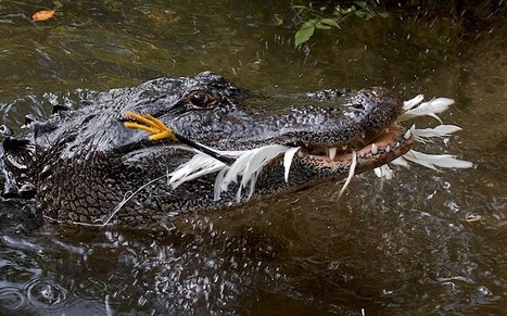 #Crocodiles and #alligators use sticks to '#fish' for birds - Telegraph | Rescue our Ocean's & it's species from Man's Pollution! | Scoop.it