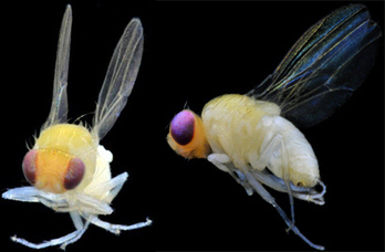 Exotic Fruit Flies Found for First Time in Los Angeles | Insect Information and Keys | Scoop.it