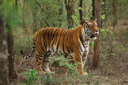 The Thrill and Experience of Jungle Safari Rides | Tadoba Tiger King Resort | Scoop.it