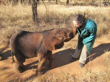 Baby Elephants Survive Against the Odds: An Elephant Orphanage in Zambia | Wildlife Trafficking: Who Does it? Allows it? | Scoop.it