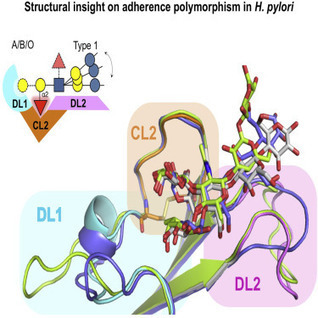 Structural Insights into Polymorphic ABO Glycan Binding by Helicobacter pylori: Cell Host & Microbe   Host Cell & Pathogen Interactions   Scoop.it