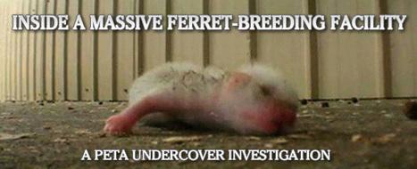 Investigation Exposes Cruelty at Ferret Mill | Animal Cruelty | Scoop.it