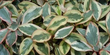 Peperomia Tricolor (Peperomia Magnoliifolia): Paisagismo | Flores - Cultura Mix | paisajismo | Scoop.it