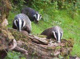 Wales demands 'objective evidence' before killing badgers. Whatever next? | Animal welfare | Scoop.it