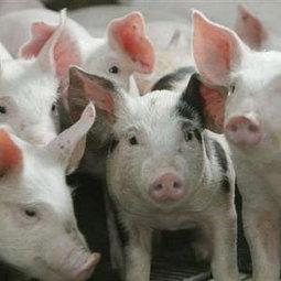 Cameroun : Le porc dans la saleté jusqu'à la mort | république | Scoop.it