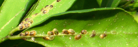 Caribbean Agricultural Health and Food Safety Agency - Home | crop pests and diseases | Scoop.it