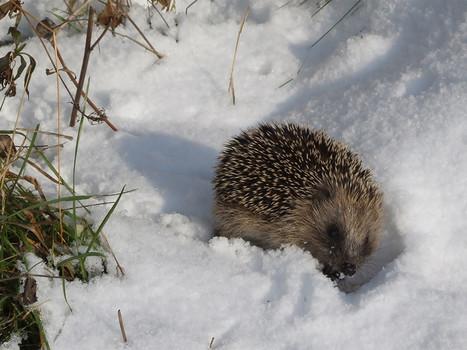 Que faire si ... vous rencontrez un hérisson en hiver? | Farming, Forests, Water, Fishing and Environment | Scoop.it