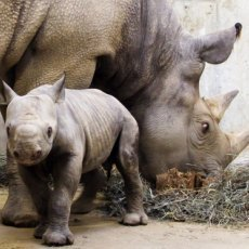 Africa's Western Black Rhino Declared Extinct | What's Happening to Africa's Rhino? | Scoop.it