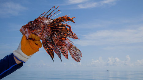 Florida Needs a Lionfish King or Queen. It Could Be You. | Soggy Science | Scoop.it