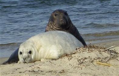 Scientists turn to drones to count growing seal colonies   Oceans and Wildlife   Scoop.it
