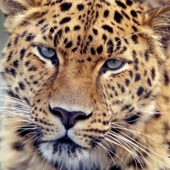 Leopard Near Khosrov Reserve | Saving the Wild: Nature Conservation in the Caucasus | Scoop.it