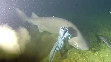 Watch this stunning close-up of a sixgill shark | Fox News | ScubaObsessed | Scoop.it