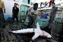 Deep sea slaughter aboard a Chinese longliner | OUR OCEANS NEED US | Scoop.it