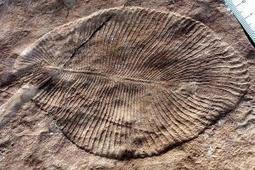 The first complex life on Earth got eaten to extinction - life - 27 April 2015 - New Scientist | Aux origines | Scoop.it