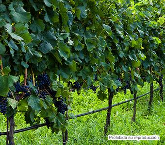 SIAP ::: Cultivos de interés | Uva (Vitis vinifera) | Scoop.it