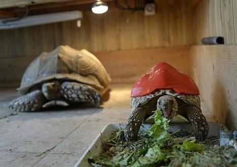 3-D printing tech gives tortoise new life, is shaping manufacturing - The Denver Post | Peer2Politics | Scoop.it