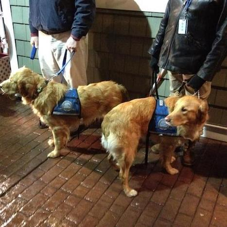 Golden retrievers sent to comfort Newtown in wake of Sandy Hook Elementary School massacre | Golden Retriever | Scoop.it