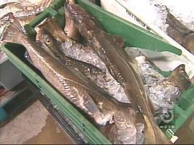 Cod levels at all-time low in Northeast waters - WCVB Boston | FOOD TECHNOLOGY  NEWS | Scoop.it