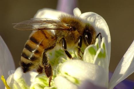 Abeilles et pesticides: l'étude scientifique avait été mal interprétée | Abeilles, intoxications et informations | Scoop.it