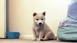 Baby Mika, Creme Shiba Inu Puppy   How can I do....?   Scoop.it