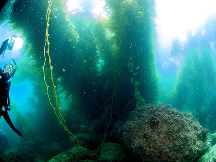 As Northern California's kelp forests collapse, so goes the coastal ecosystem | Biodiversity protection | Scoop.it