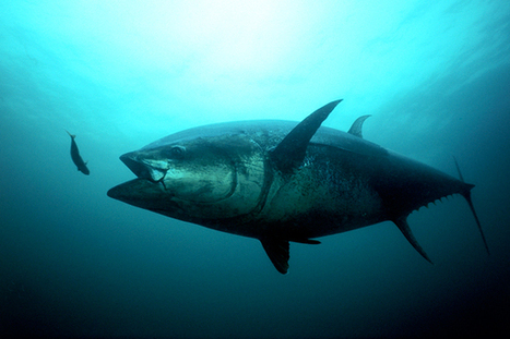 Tuna Study Explains Link Between Crude Oil and Heart Problems | SUBDocument | Scoop.it