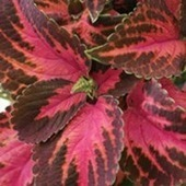 Proven Winners | Mix it up with Edibles and Ornamentals | Annie Haven | Haven Brand | Scoop.it