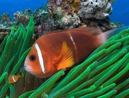 Finding Nemo is real: Clownfish make epic sea journeys | ScienceNow | Scoop.it