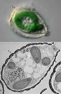 Amoeba may offer key clue to photosynthetic evolution | MicrobiologyBytes | Scoop.it