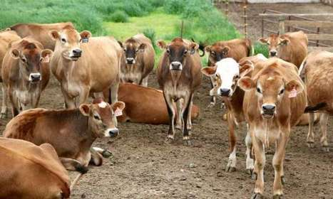 Super, natural cows make the best sports recovery drink | Sustain Our Earth | Scoop.it