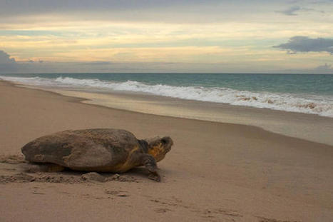 Scientists reveal bizarre method sea turtles use to find their way home | enjoy yourself | Scoop.it