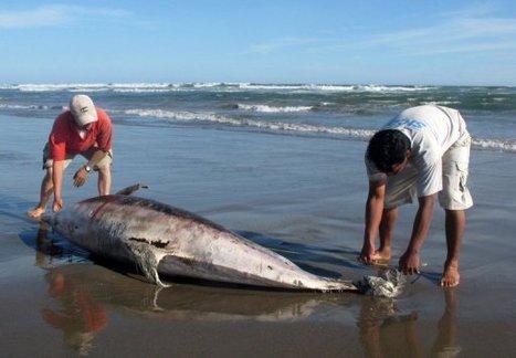 Pérou: alerte sanitaire après la mort mystérieuse de centaines de dauphins et de pélicans | Toxique, soyons vigilant ! | Scoop.it