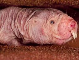 Naked mole rats reveal why they are immune to cancer - health - 19 June 2013 - New Scientist | Topics in Science | Scoop.it