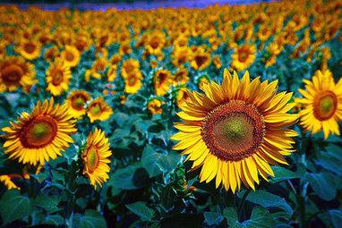 Ces OGM méconnus que la France produit par millions | Economie Responsable et Consommation Collaborative | Scoop.it