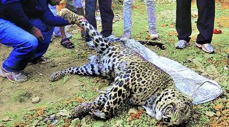 Lack of prey pushing leopards into cities: Experts - The Indian Express | Cats Rule the World | Scoop.it