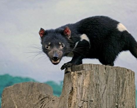 Un ancien marsupial carnivore, cousin du diable de Tasmanie, découvert en Australie | Biodiversité & Relations Homme - Nature - Environnement : Un Scoop.it du Muséum de Toulouse | Scoop.it