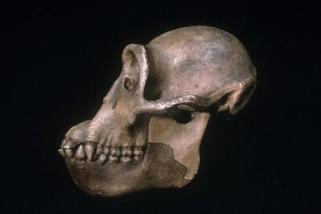 Ape fossils put the origin of humanity at 10 million years ago | Aux origines | Scoop.it