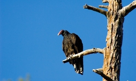 Microbes help vultures eat rotting meat | Science, Technology, and Current Futurism | Scoop.it