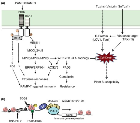 Curr Opin Plant Biol: Genetic and cellular mechanisms regulating plant responses to necrotrophic pathogens (2013) | research on plant resistance gene for disease | Scoop.it