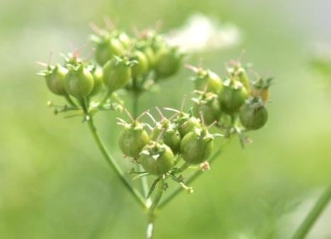 Vivadour et Maïsadour ont breveté un éco-procédé permettant la transformation de la graine pour viser des débouchés industriels majeurs | Chimie verte et agroécologie | Scoop.it
