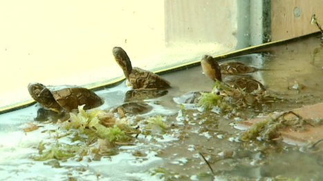 Endangered NS turtles get boost from zoo - CBC.ca | Wildlife | Scoop.it