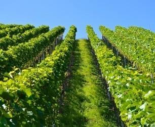 L'histoire d'amour entre la vigne française et les pesticides continue | Toxique, soyons vigilant ! | Scoop.it