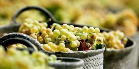 Vin Bio/ Les premières vendanges Made in Europe   Vins nature, Vin de plaisir   Scoop.it