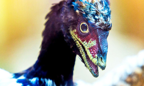 Why scientists put dinosaur snouts on chickens   Virology News   Scoop.it