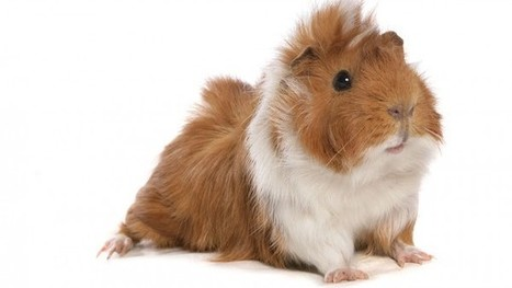 Guinea pig feasts may explain high rates of deadly parasite in Peru | Agricultural Research | Scoop.it