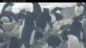 #couvaison #manchot adélie #webcam Torgersen Island Live #Antarctique | Hurtigruten Arctique Antarctique | Scoop.it