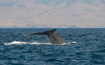 California to Shift Shipping Lanes to Protect Endangered Whales | Water Stewardship | Scoop.it